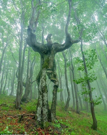 weird tree balkans mountains